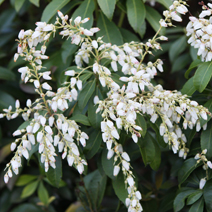 Pieris japonica 'White Pearl' 1
