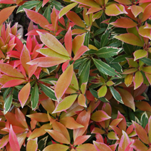 Pieris japonica 'Flaming Silver' 1