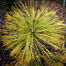 Pinus jeffreyi 'Misty Lemon'