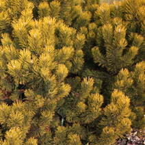 Pinus mugo 'Winter Gold' 3
