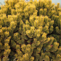 Pinus mugo 'Winter Gold' 2