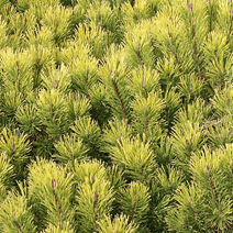 Pinus mugo 'Winter Gold' 1