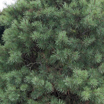 Pinus sylvestris 'Gold Coin' 2