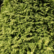 Thuja occidentalis 'Wareana Lutescens' (Th. occ. 'Lutescens')