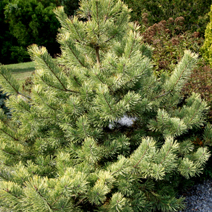 Pinus sylvestris 'Gold Coin' 1