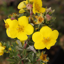 Potentilla fruticosa 'Goldstar' 2
