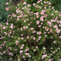 Potentilla fruticosa 'Lovely Pink' ® PBR (P. f. 'Pink Beauty') 3