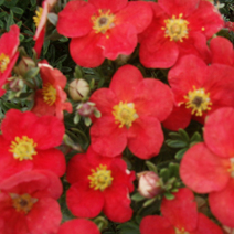 Potentilla fruticosa 'Marion Red Robin' ® 2