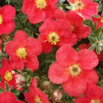 Potentilla fruticosa 'Marion Red Robin' ® 3