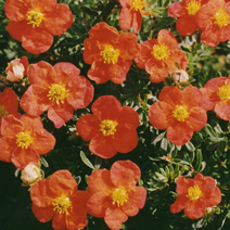 Potentilla fruticosa 'Red Ace'