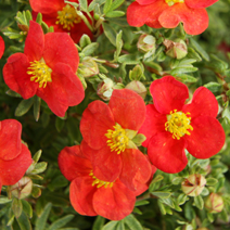 Potentilla fruticosa 'Marion Red Robin' ® 1