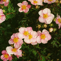 Potentilla fruticosa 'Blink' ('Princess')