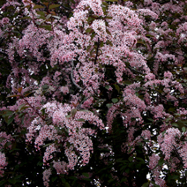 Prunus padus 'Coloratus' 7