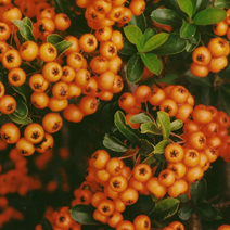 Pyracantha coccinea 'Orange Glow' 1