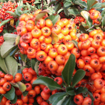 Pyracantha coccinea 'Orange Glow' 2