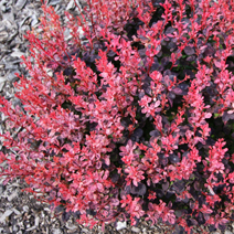 Berberis thunbergii 'Inspiration'