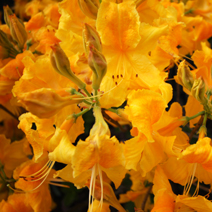 Rhododendron  mollis 'Goldpracht' 2