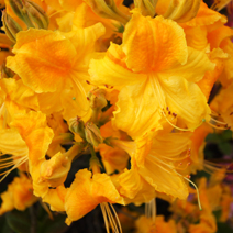 Rhododendron  mollis 'Goldpracht'