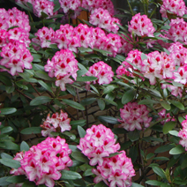 Rhododendron hybridum 'Hachmann's Charmant' 2