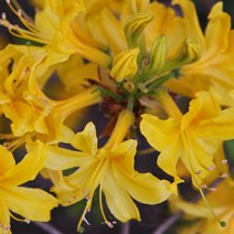 Rhododendron  luteum 1