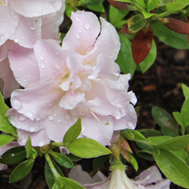 Rhododendron   obtusum 'Mrs Nancy Dippel'