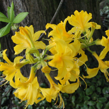 Rhododendron  luteum 4