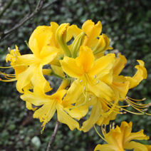 Rhododendron  luteum 3