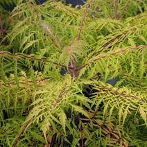 Rhus typhina 'Tiger Eyes' ® PBR