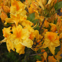 Rhododendron  (Knaphill-Exbury) 'Goldpracht' 2