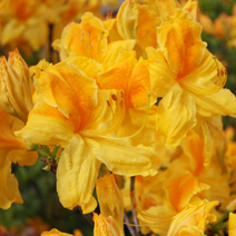 Rhododendron  (Knaphill-Exbury) 'Goldpracht'