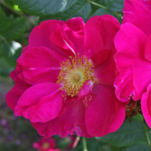 Rosa gallica 'Officinalis' 2