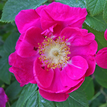 Rosa gallica 'Officinalis' 3