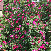 Rosa gallica 'Officinalis' 1