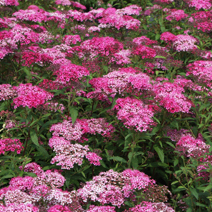 Spiraea japonica 'Anthony Waterer' 1
