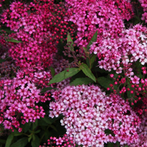 Spiraea japonica 'Anthony Waterer' 2