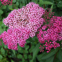 Spiraea japonica 'Country Red' 2