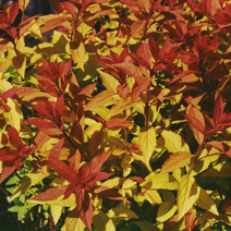 Spiraea japonica 'Goldflame' 1
