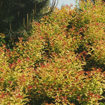 Spiraea japonica 'Goldflame' 2