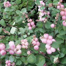 Symphoricarpos doorenbosii 'Mother of Pearl' 2