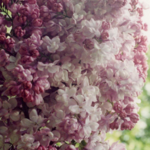 Syringa vulgaris 'Kathrine Havemeyer' 1