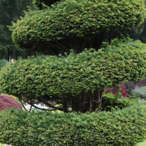 Taxus baccata 16