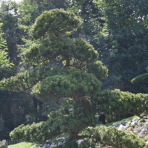 Taxus baccata 5