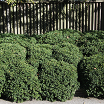 Taxus baccata 6