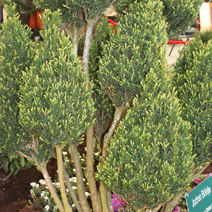 Taxus baccata 8