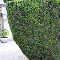Taxus baccata 11