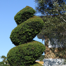 Taxus baccata 12