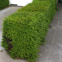 Taxus baccata 3
