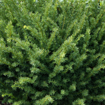 Taxus x media 'Farmen' 3