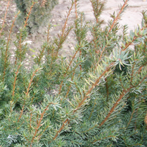 Taxus x media 'Farmen' 2