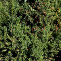 Taxus x media 'Hicksii' 3